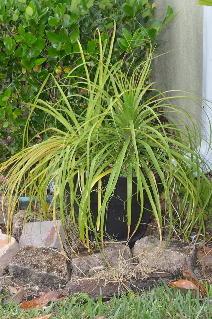 Lot # 216 Large spider potted plant (main image)