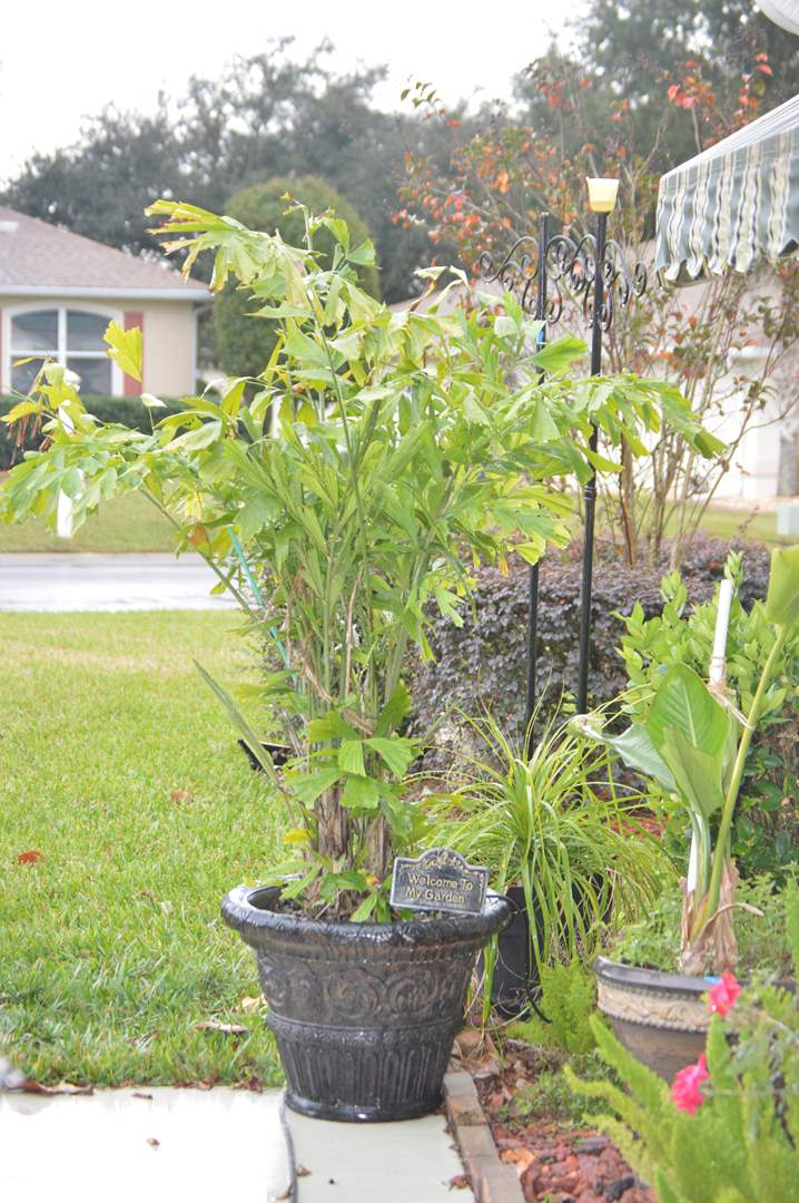 Lot # 218 Large outdoor plant in very nice decorative pot (main image)